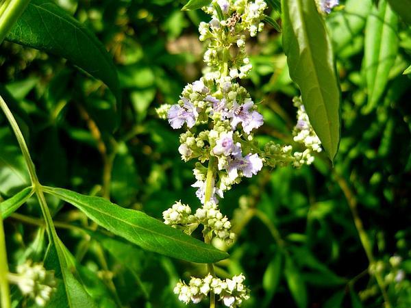 Chinese Chastetree (Vitex Negundo) http://www.sagebud.com/chinese-chastetree-vitex-negundo