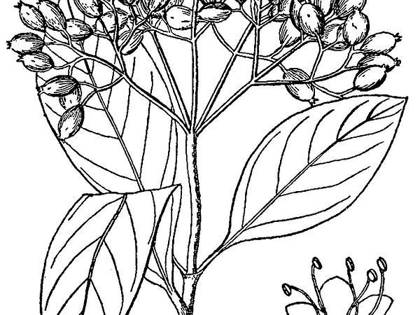 Possumhaw (Viburnum Nudum) http://www.sagebud.com/possumhaw-viburnum-nudum
