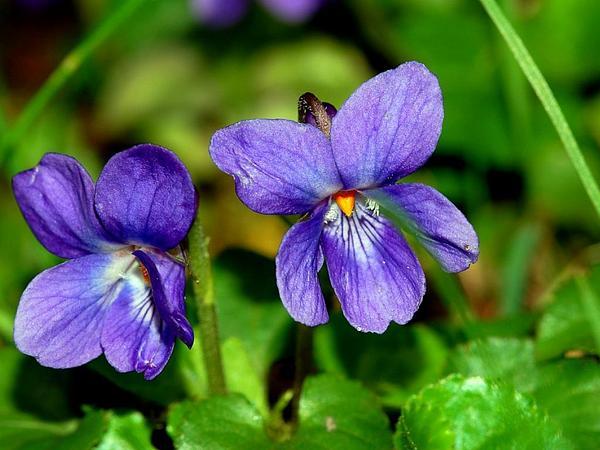 Sweet Violet (Viola Odorata) http://www.sagebud.com/sweet-violet-viola-odorata