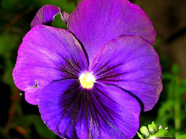 Violet (Viola) http://www.sagebud.com/violet-viola/