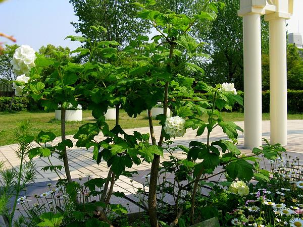 European Cranberrybush (Viburnum Opulus) http://www.sagebud.com/european-cranberrybush-viburnum-opulus