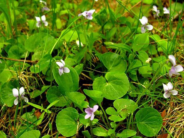 Marsh Violet (Viola Palustris) http://www.sagebud.com/marsh-violet-viola-palustris