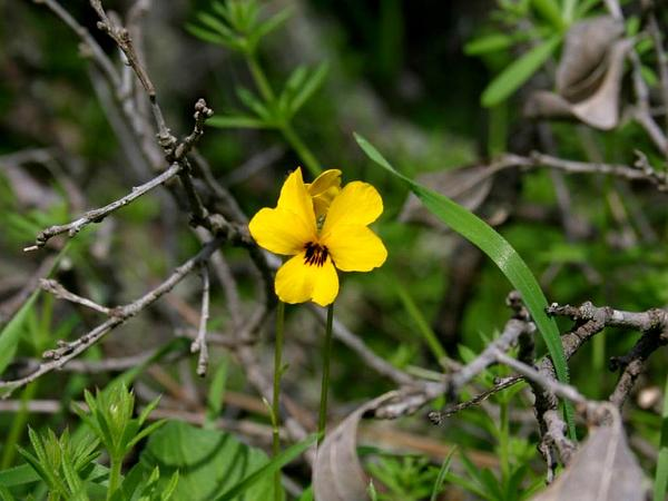 Johnny-Jump-Up (Viola Pedunculata) http://www.sagebud.com/johnny-jump-up-viola-pedunculata
