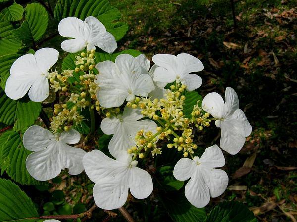 Japanese Snowball (Viburnum Plicatum) http://www.sagebud.com/japanese-snowball-viburnum-plicatum
