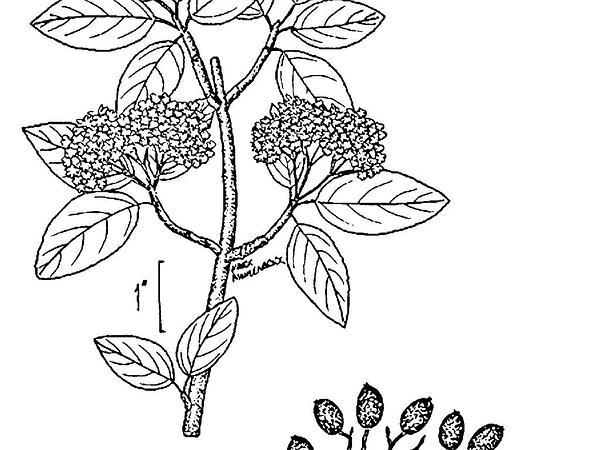 Blackhaw (Viburnum Prunifolium) http://www.sagebud.com/blackhaw-viburnum-prunifolium/