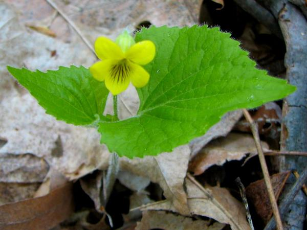 Downy Yellow Violet (Viola Pubescens) http://www.sagebud.com/downy-yellow-violet-viola-pubescens/