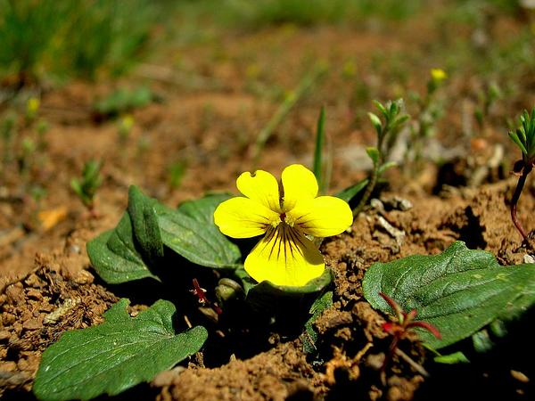 Goosefoot Violet (Viola Purpurea) http://www.sagebud.com/goosefoot-violet-viola-purpurea/