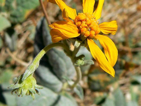 Netvein Goldeneye (Viguiera Reticulata) http://www.sagebud.com/netvein-goldeneye-viguiera-reticulata/