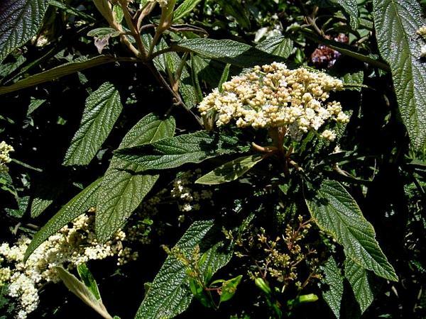 Leatherleaf Arrowwood (Viburnum Rhytidophyllum) http://www.sagebud.com/leatherleaf-arrowwood-viburnum-rhytidophyllum