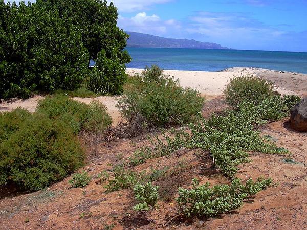 Roundleaf Chastetree (Vitex Rotundifolia) http://www.sagebud.com/roundleaf-chastetree-vitex-rotundifolia/