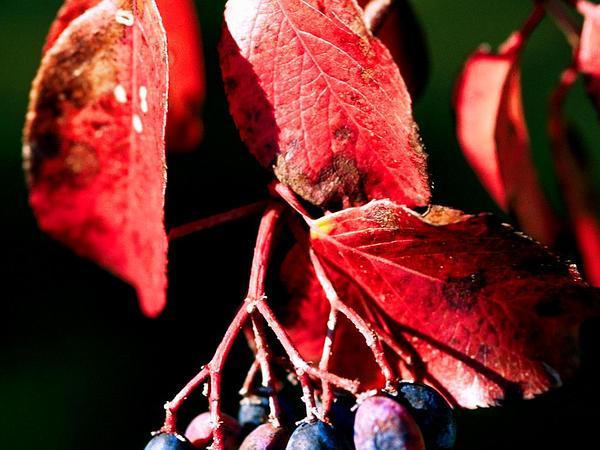 Rusty Blackhaw (Viburnum Rufidulum) http://www.sagebud.com/rusty-blackhaw-viburnum-rufidulum