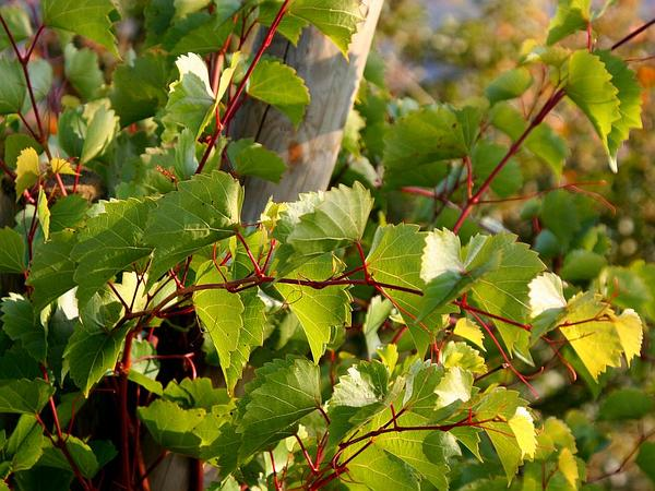 Sand Grape (Vitis Rupestris) http://www.sagebud.com/sand-grape-vitis-rupestris