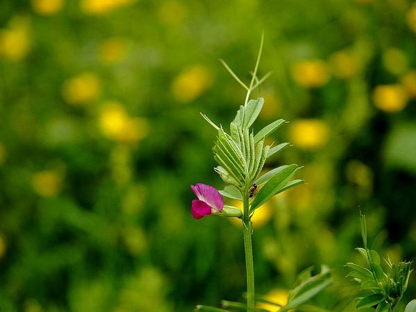 Garden Vetch (Vicia Sativa) http://www.sagebud.com/garden-vetch-vicia-sativa