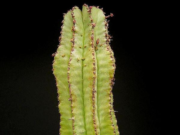 Mistletoe (Viscum) http://www.sagebud.com/mistletoe-viscum/
