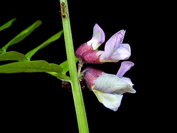 Bush Vetch (Vicia Sepium) http://www.sagebud.com/bush-vetch-vicia-sepium