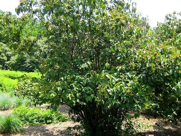 Tea Viburnum (Viburnum Setigerum) http://www.sagebud.com/tea-viburnum-viburnum-setigerum