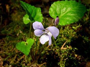 Selkirk's Violet