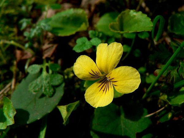 Evergreen Violet (Viola Sempervirens) http://www.sagebud.com/evergreen-violet-viola-sempervirens/