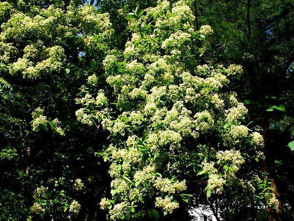 Siebold's Arrowwood (Viburnum Sieboldii) http://www.sagebud.com/siebolds-arrowwood-viburnum-sieboldii