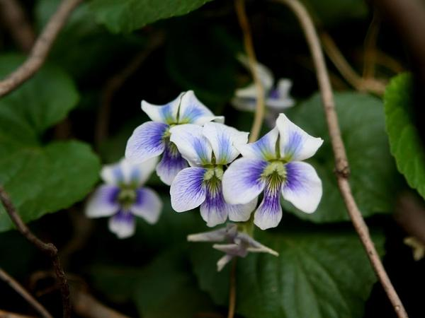 Common Blue Violet (Viola Sororia) http://www.sagebud.com/common-blue-violet-viola-sororia/