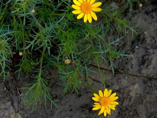 Resinbush (Viguiera Stenoloba) http://www.sagebud.com/resinbush-viguiera-stenoloba/