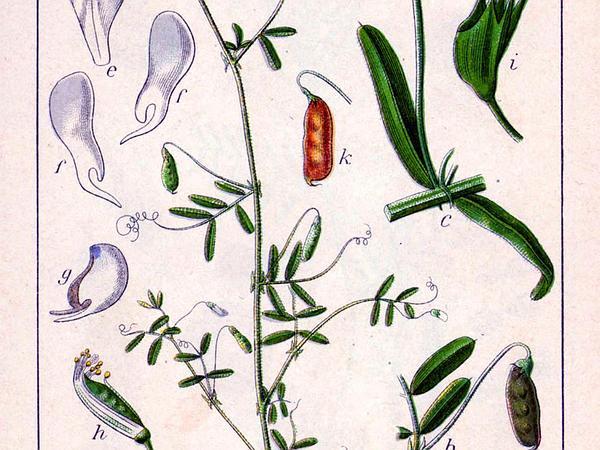 Lentil Vetch (Vicia Tetrasperma) http://www.sagebud.com/lentil-vetch-vicia-tetrasperma/