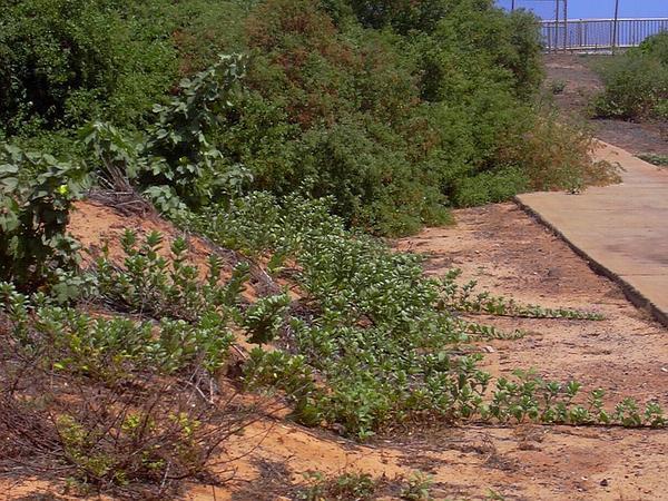 Chastetree (Vitex) http://www.sagebud.com/chastetree-vitex