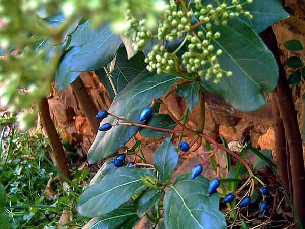 Laurustinus (Viburnum Tinus) http://www.sagebud.com/laurustinus-viburnum-tinus