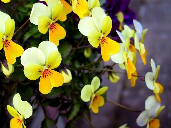 Johnny Jumpup (Viola Tricolor) http://www.sagebud.com/johnny-jumpup-viola-tricolor/