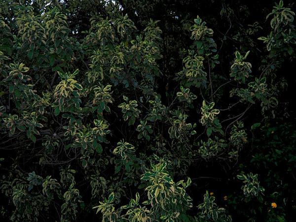 Simpleleaf Chastetree (Vitex Trifolia) http://www.sagebud.com/simpleleaf-chastetree-vitex-trifolia