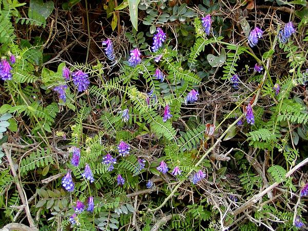 Winter Vetch (Vicia Villosa) http://www.sagebud.com/winter-vetch-vicia-villosa