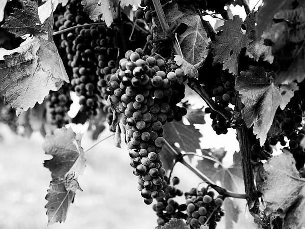 Wine Grape (Vitis Vinifera) http://www.sagebud.com/wine-grape-vitis-vinifera