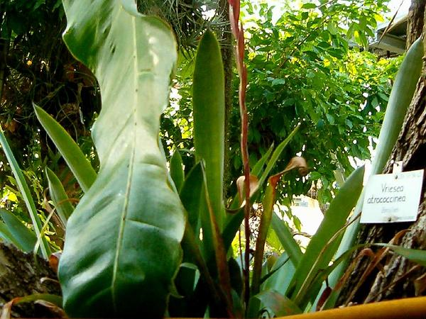 Vriesea (Vriesea) http://www.sagebud.com/vriesea-vriesea
