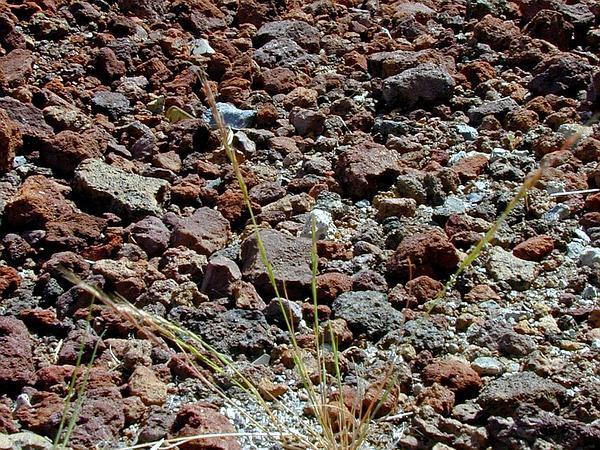 Brome Fescue (Vulpia Bromoides) http://www.sagebud.com/brome-fescue-vulpia-bromoides