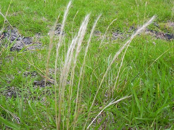 Fescue (Vulpia) http://www.sagebud.com/fescue-vulpia/