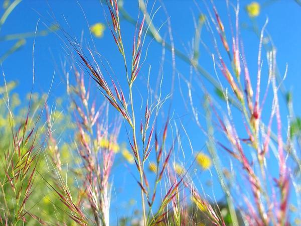 Fescue (Vulpia) http://www.sagebud.com/fescue-vulpia