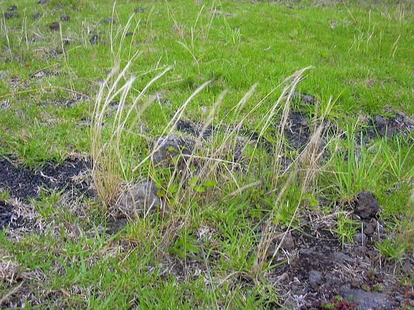 Rat-Tail Fescue (Vulpia Myuros) http://www.sagebud.com/rat-tail-fescue-vulpia-myuros