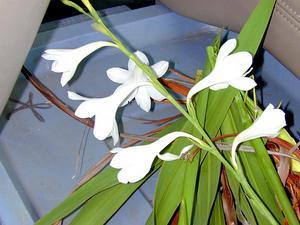Cape Bugle-Lily