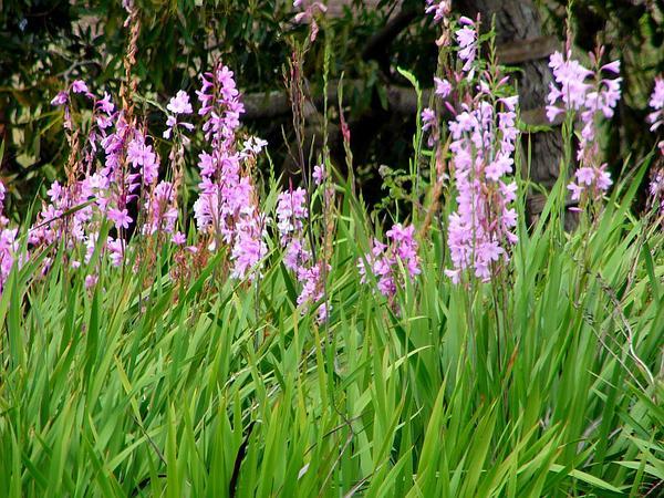Cape Bugle-Lily (Watsonia Borbonica) http://www.sagebud.com/cape-bugle-lily-watsonia-borbonica/