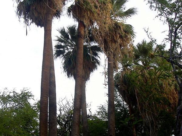 California Fan Palm (Washingtonia Filifera) http://www.sagebud.com/california-fan-palm-washingtonia-filifera