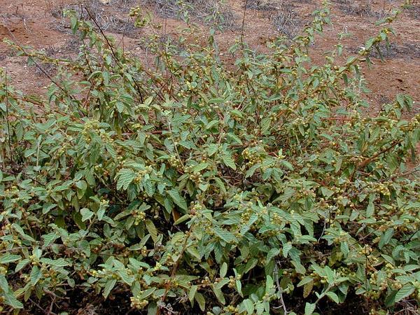 Uhaloa (Waltheria Indica) http://www.sagebud.com/uhaloa-waltheria-indica/