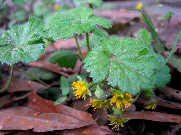 Piedmont Barren Strawberry (Waldsteinia Lobata) http://www.sagebud.com/piedmont-barren-strawberry-waldsteinia-lobata/