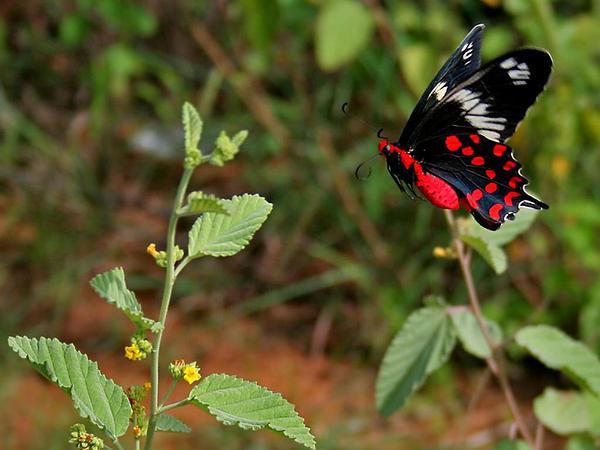 Waltheria (Waltheria) http://www.sagebud.com/waltheria-waltheria
