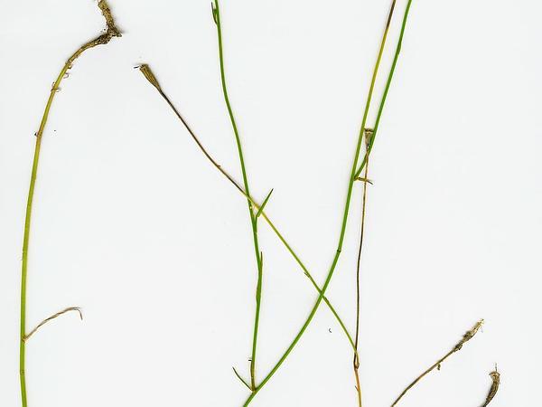 Southern Rockbell (Wahlenbergia Marginata) http://www.sagebud.com/southern-rockbell-wahlenbergia-marginata