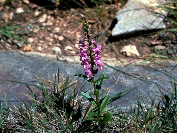 Brazosmint (Warnockia) http://www.sagebud.com/brazosmint-warnockia