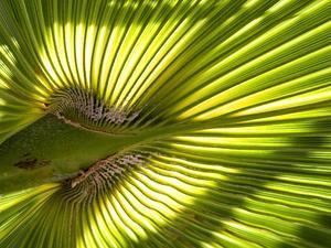 Washington Fan Palm