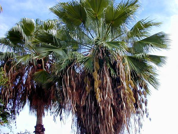 Washington Fan Palm (Washingtonia Robusta) http://www.sagebud.com/washington-fan-palm-washingtonia-robusta/