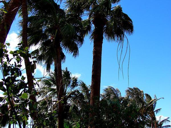 Fan Palm (Washingtonia) http://www.sagebud.com/fan-palm-washingtonia