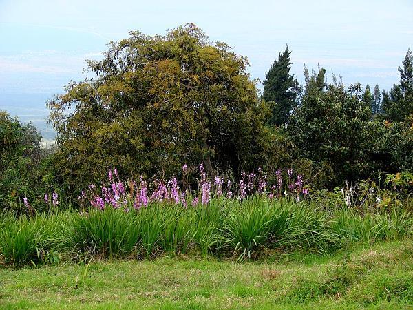 Bugle-Lily (Watsonia) http://www.sagebud.com/bugle-lily-watsonia