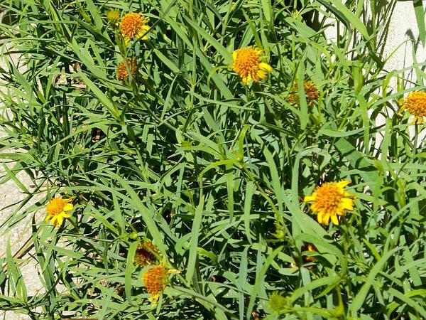 Creepingoxeye (Wedelia) http://www.sagebud.com/creepingoxeye-wedelia
